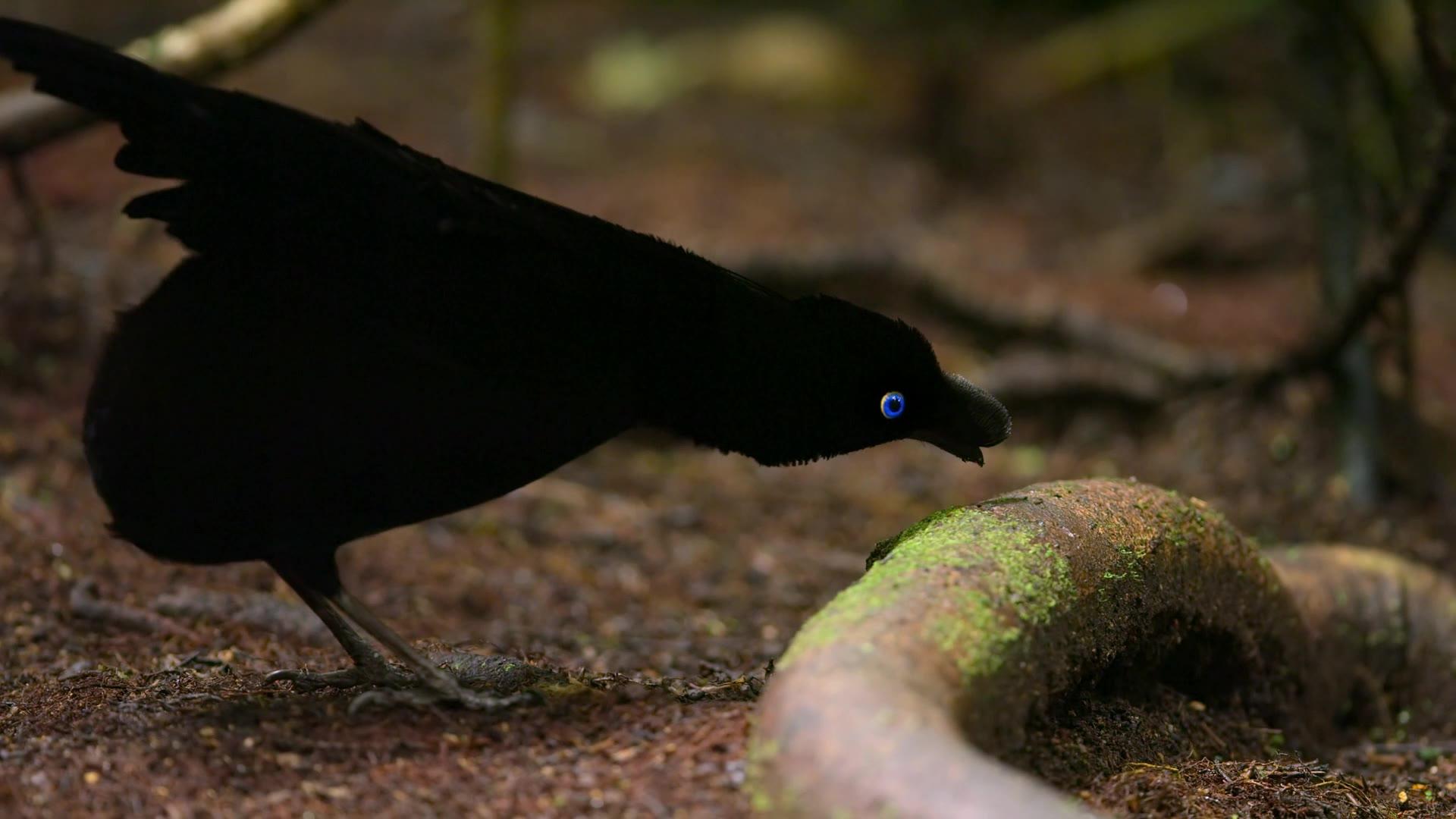 تصاویر حیرت انگیزی از عشق بازی پرنده ای عجیب در جنگل